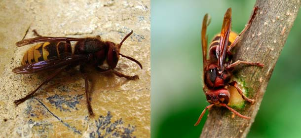 Asian giant hornet (left) and European hornet (right).