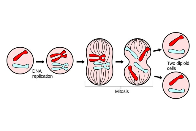 Image Result For Meiosis Definitiona