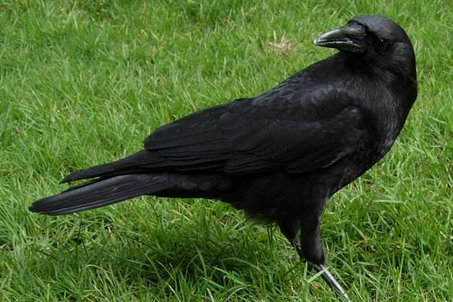 Crow Vs Raven Difference And Comparison Diffen