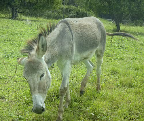 A donkey in France. Note the stripe across the shoulder and the dorsal stripe.