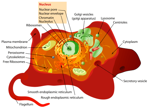 Structure of a Typical Animal Cell (click to enlarge)