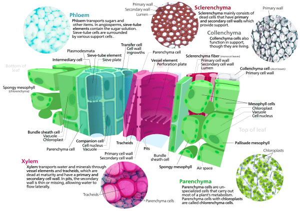 This picture presents the various types of plant cells, including xylem, phloem, sclerenchyma and collenchyma.