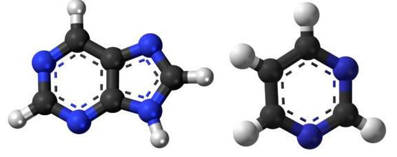 Purine (L) and Pyrimidine (R) molecules, where Black= Carbon, White=Hydrogen, Blue=Nitrogen