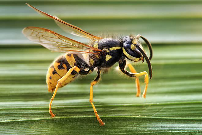 bee vs wasp difference and comparison diffen