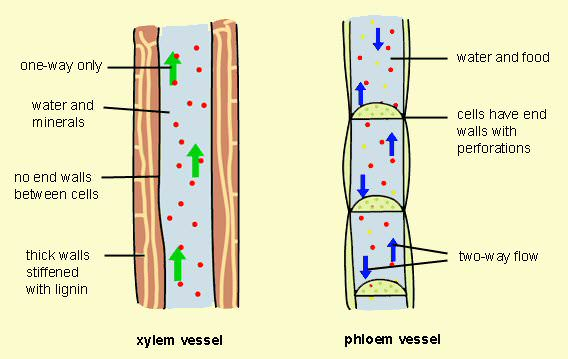Differences between Xylem and Xylem And Phloem In Plants