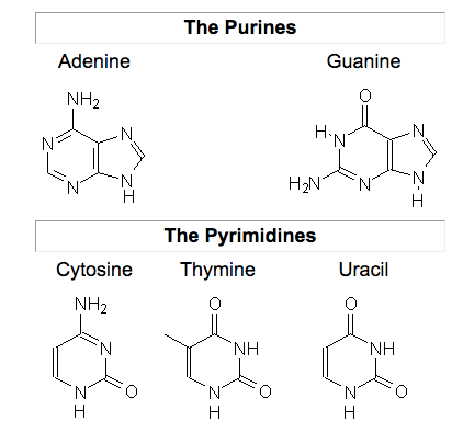 The chemical structure of all purines (adenine, guanine) and pyrimidines (cytosine, thymine, uracil).