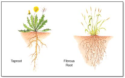 Fibrous roots are commonly found in monocotyledons while dicots have a taproot system.