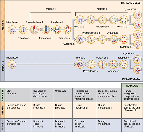 A diagram showing the differences between meiosis and mitosis. Image from OpenStax College.