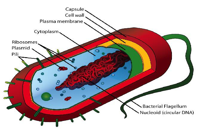 Eukaryotic Cell vs Prokaryotic Cell - Difference and Comparison | Diffen