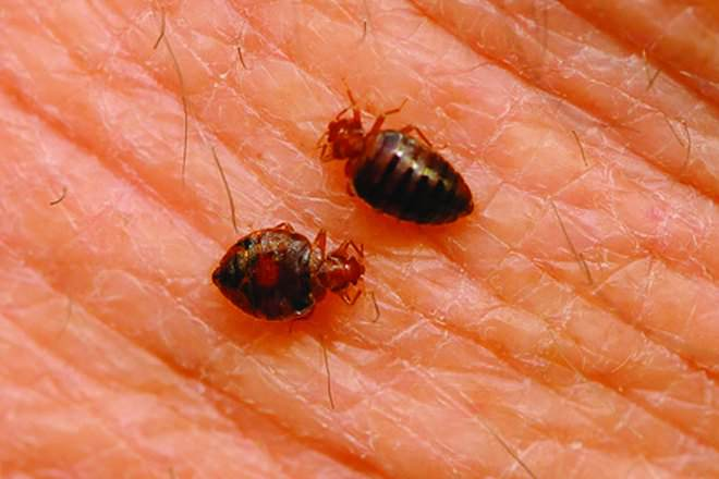 What Kind Of Bed Bugs Like To Bite Dogs