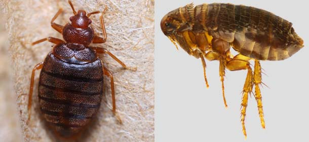 Closeups of a bed bug (left) and flea (right).