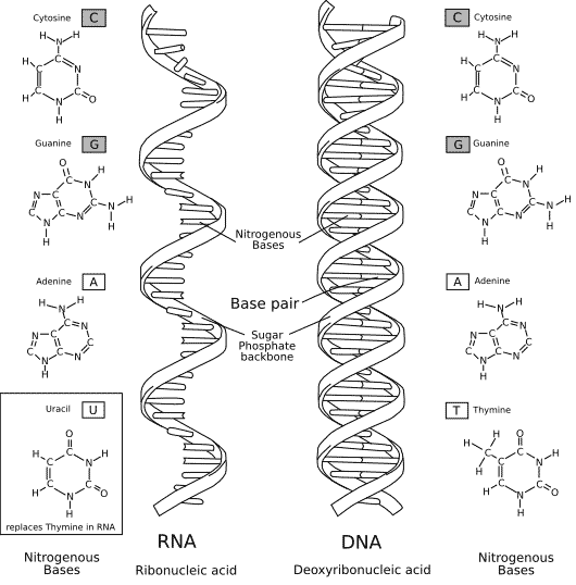 Structural differences between DNA and RNA.