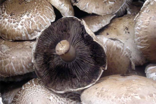 Portobello Mushroom Vs Shiitake Mushroom Difference And Comparison Diffen