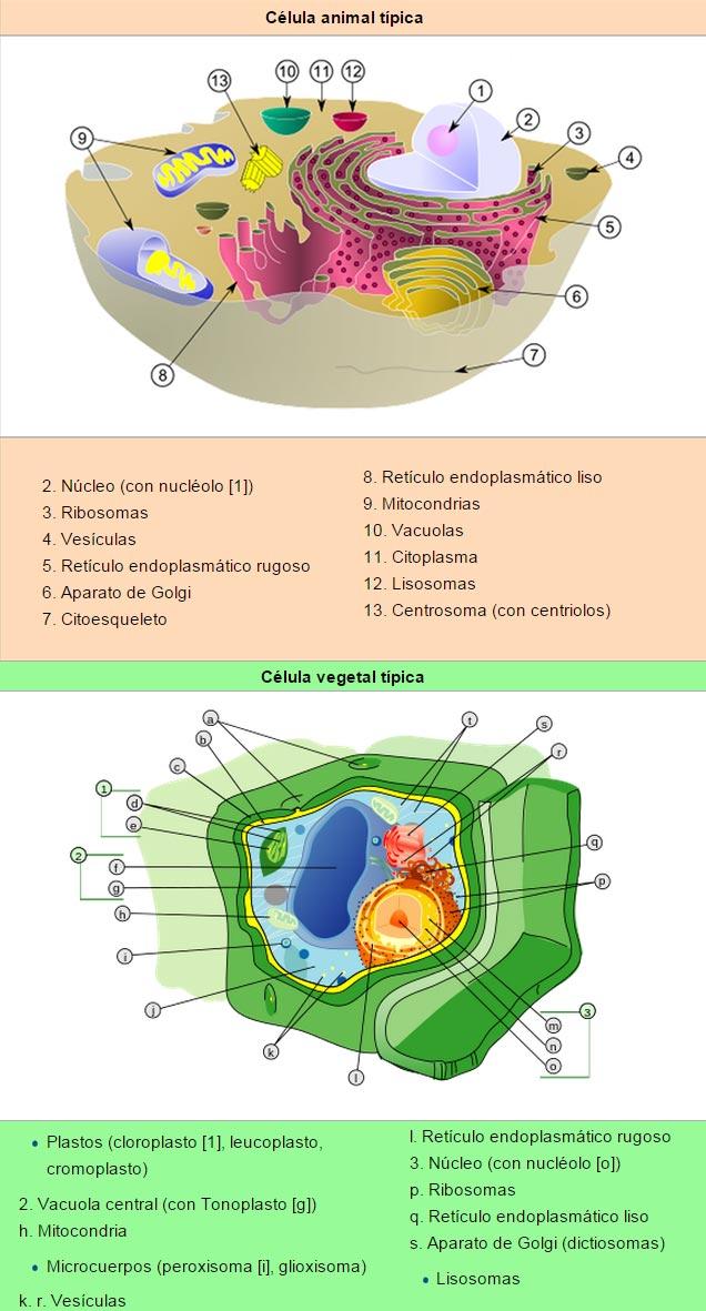 Comparación de los orgánulos presentes en células animales y vegetales