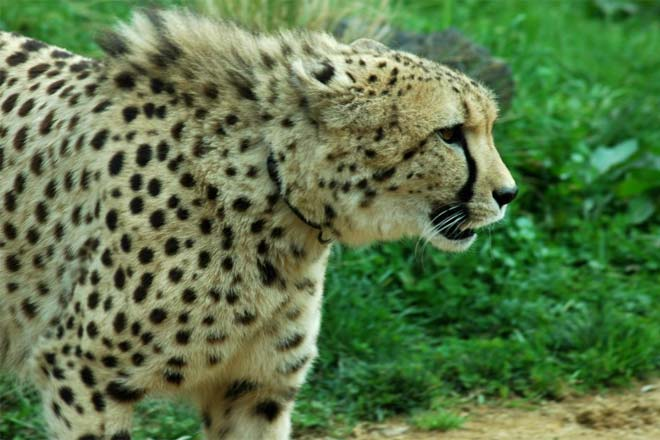 3fee94d841 Cheetah vs Leopard - Difference and Comparison