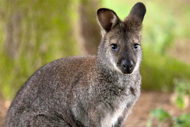 Kangaroo vs wallaby difference and comparison diffen wallaby ccuart Choice Image
