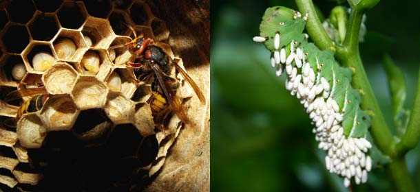 A hornet's nest (left) and wasp larva growing out of a caterpillar (right).