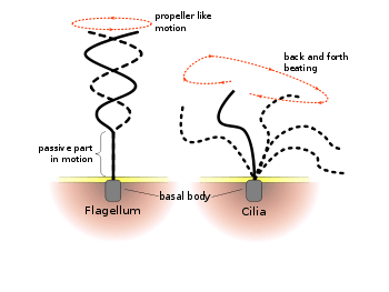Difference between the movement of cilia and flagella
