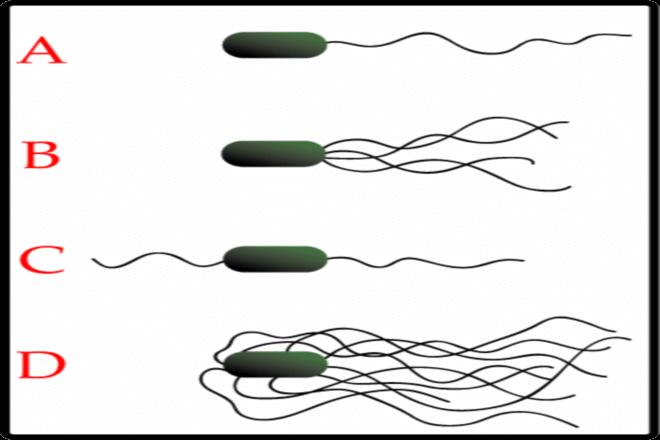 Flagella