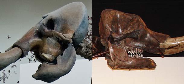Mammoth teeth (left) and mastodon teeth (right).
