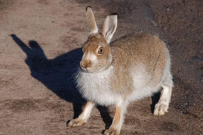 Hare vs jackrabbit - photo#3