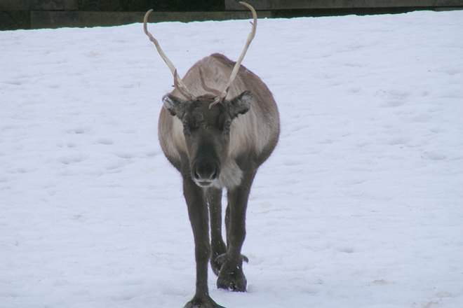 Caribou Vs Reindeer Difference And Comparison Diffen