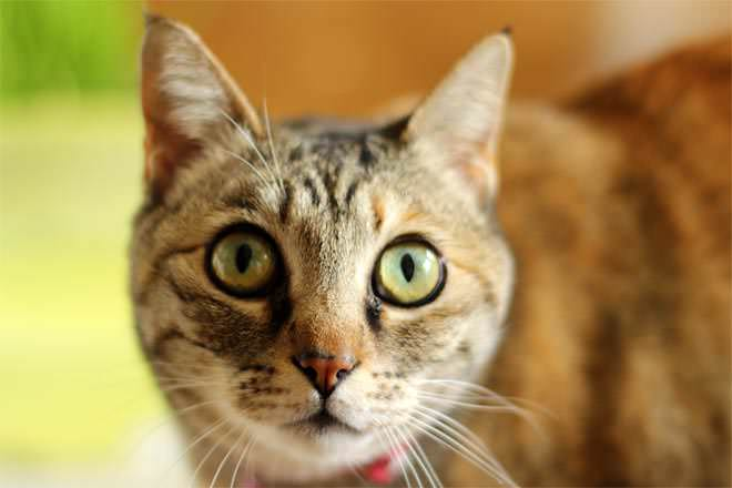 the similarities and difference between dogs and cats The difference between animal and human hearing  transcript of the difference between animal and human hearing,and  the difference between cats.