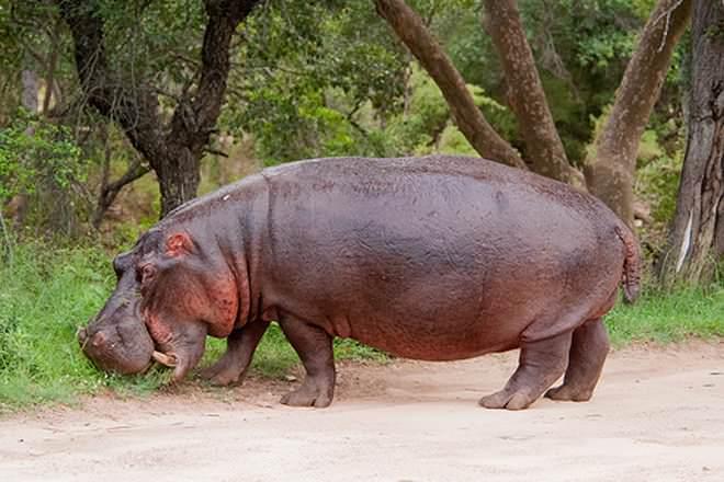 hippo run speed