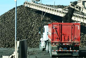 Sugar beet harvest with large piles of sugar beets in the background.