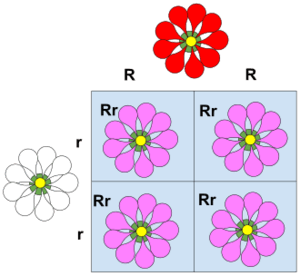 This Punnett square illustrates incomplete dominance. When the R allele (red petal) recombines with the r allele (white petal trait), neither allele is fully dominant so neither is able to express its trait fully. Instead, the resulting trait in a plant with Rr genotype is pink petals. of the r allele. This is not a result of the colors blending together; the dominant trait is just expressed less strongly.