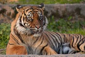 "A tiger in the same zoo, giving its signature ""not impressed"" expression."