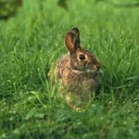 A rabbit (Eastern Cottontail or Sylvilagus floridanus).