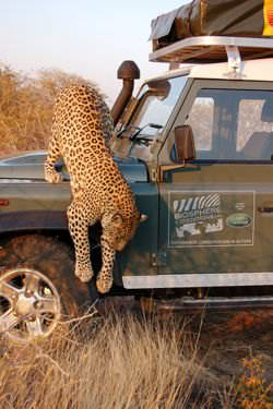 A Leopard climbing over a defender in Namibia