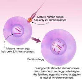 relationship between gamete zygote fertilization process