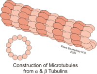 Microtubules constructed from alpha and beta tubulin