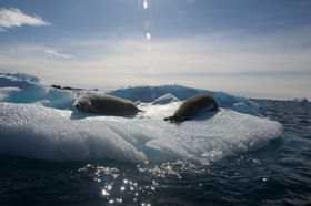 Seals basking in the sun on an iceberg