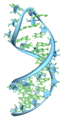 RNA folding in on itself into a hairpin loop.