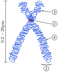 Chromosome structure - (1) Chromatid. (2) Centromere. (3) Short arm. (4) Long arm.