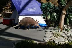 An aardvark