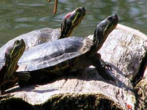 Turtles have flat shells and webbed feet with long claws.