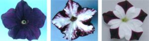 Ejemplos de silenciamiento de genes en plantas transgénicas como la petunia.