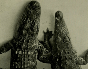 An alligator (left) with a rounded U-shaped snout and a crocodile (right) with a V-shaped snout