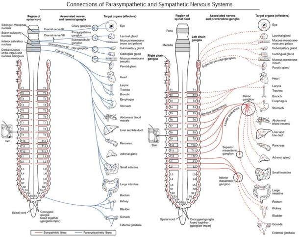 Parasympathetic nervous system vs Sympathetic nervous system on pain receptors body diagram