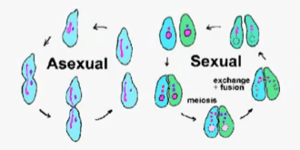 Cell division in asexual and sexual reproduction