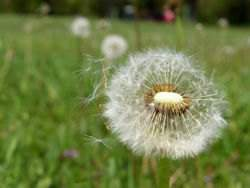 Dandelions use the wind to pollinate. So they have long pistils.