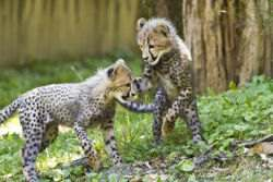 Cheetah Cubs playing at the National Zoo in Washington. DC