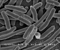 Scanning electron micrograph of Escherichia coli bacilli
