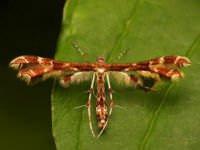 Himmelman's Plume Moth