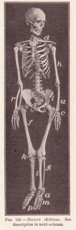 Bones make up the skeleton.