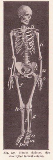 Los vertebrados tienen una estructura de esqueleto con una columna vertebral o espina dorsal.